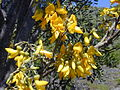 Starr 030222-0061 Sophora chrysophylla.jpg