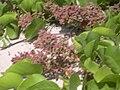 Starr 030523-0159 Chenopodium murale.jpg