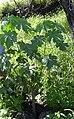 Starr 040129-0011 Hibiscus brackenridgei subsp. brackenridgei.jpg