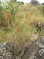 Starr 051122-5375 Salvia coccinea.jpg
