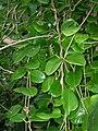 Starr 060422-7750 Hoya australis.jpg