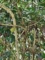 Starr 061105-1341 Psydrax odorata.jpg