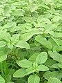 Starr 061114-9878 Amaranthus spinosus.jpg