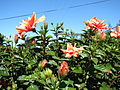 Starr 061204-1839 Hibiscus rosa-sinensis.jpg
