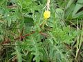 Starr 061205-1889 Oenothera laciniata.jpg