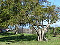 Starr 061223-2746 Jacaranda mimosifolia.jpg