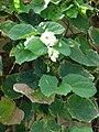 Starr 070405-6818 Thunbergia grandiflora.jpg