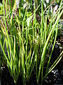 Starr 080103-1278 Allium cepa.jpg