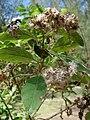 Starr 080609-7995 Pluchea carolinensis.jpg