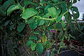 Starr 980602-4331 Passiflora quadrangularis.jpg