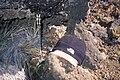 Starr 990224-3625 Asplenium adiantum-nigrum.jpg