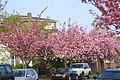 Staveley Road - spring blossom.jpg