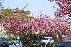 Staveley Road - Blossom in April 2005