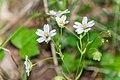 Stellaria holostea in Aveyron (3).jpg