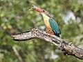 Stork billed kingfisher-kannur-kattampally - 18.jpg