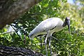 Stork in tree at McKay Creek Pinellas County Florida October 13 2020 02.JPG