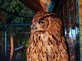 Strigiformes- Owl - جغد، پرنده شکاری 01.jpg