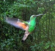 Stripe-tailed Hummingbird.jpg