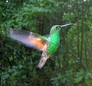 Flight - Natural flight: a hummingbird