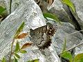 Striped Grayling (Pseudotergumia fidia) (8332772051).jpg