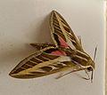 Striped Hawkmoth. Hyles livornica. Sphingidae.jpg