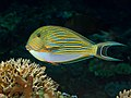 Striped surgeonfish (Acanthurus lineatus) (41611930280).jpg