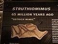 Struthiomimus HMNS.jpg