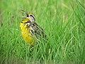 Sturnella magna Chirlobirlo Eastern Meadowlark (6260307361).jpg