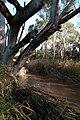 Sturt River, Adelaide.jpg