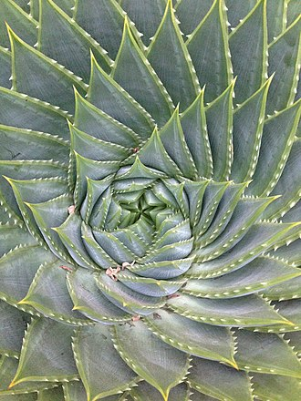 Succulent plant - Center of a succulent (Aloe polyphylla)