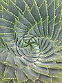 Succulent in San Francisco.JPG