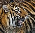 Sumatran Tiger 1 (6964690616).jpg