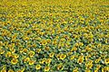 Sunflowers 3n.jpg