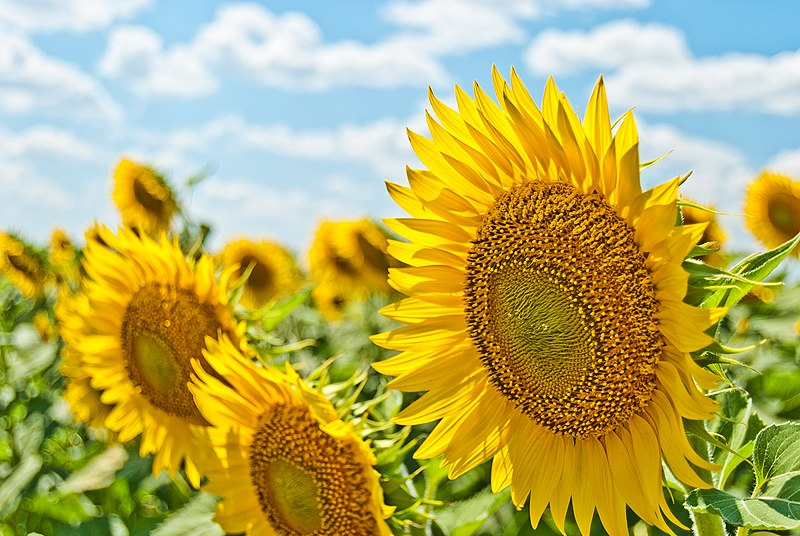 File:Sunflowers field (Unsplash).jpg