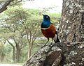 Superb Starling. Lamprotornis superbus - Flickr - gailhampshire.jpg