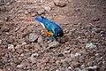 Superb starling, Lake Manyara National Park (4) (28547701216).jpg