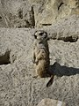 Suricata-suricatta-3.jpg