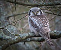 Surnia ulula - Northern Hawk-Owl, Hökuggla.jpg