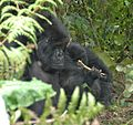 Susa group, mountain gorillas - Flickr - Dave Proffer (30).jpg
