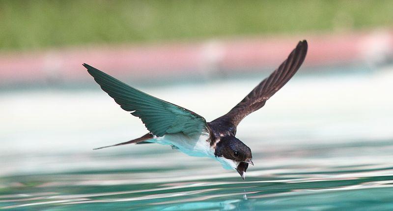 File:Swallow flying drinking 2.jpg
