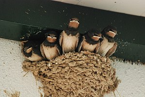 Swallows in nest 1.jpg