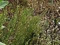 Sweet Broom (3034415055).jpg