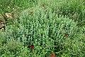 Sweet marjoram (Origanum syriacum).jpg