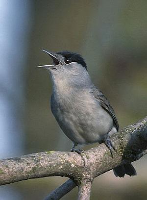 Sylvia atricapilla (Blackcap) ♂
