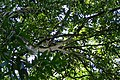 Syzygium jambos kz01.jpg