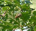 Tabanidae - Flickr - gailhampshire (5).jpg