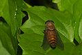 Tabanidae in Kadavoor.jpg