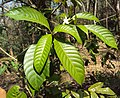 Tabernaemontana alternifolia 07.JPG