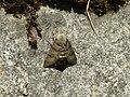 Taubenschwänzchen im Renchtal.jpg