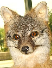 Renard Gris dans RENARD 200px-Taxidermied_grey_fox_face